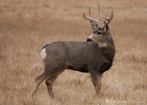This is a mule buck.