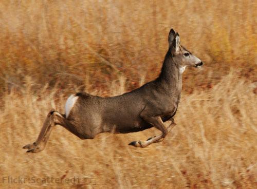 This is a mule doe.