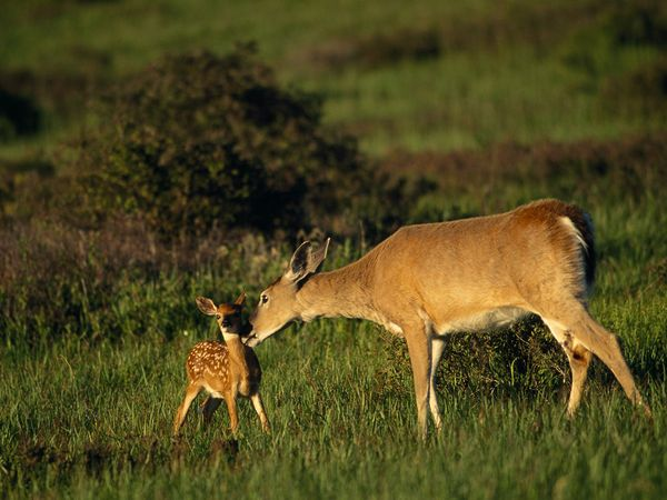 This is a whitetail doe with her fawn.